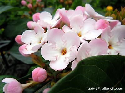 ニオイザクラ(におい桜)