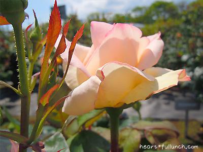 バラ(薔薇):ダイアナ プリンセス オブ ウェールズ