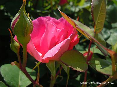 バラ(薔薇):ソフィーズ ローズ