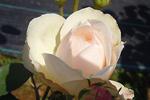 バラ(薔薇):フェアー ビアンカ