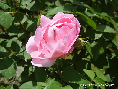 バラ(薔薇):メアリー ローズ