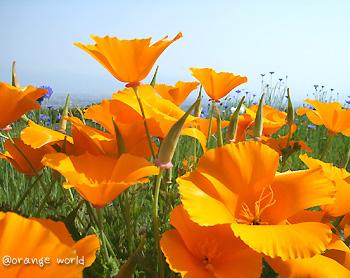 ハナビシソウ(花菱草) ・ カリフォルニア・ポピー