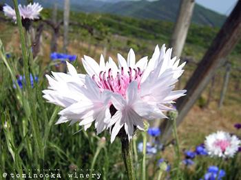 ヤグルマギク(矢車菊)