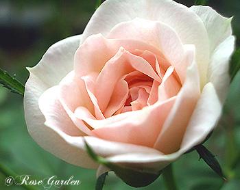 きょうの誕生花(6月19日):バラ(薔薇)