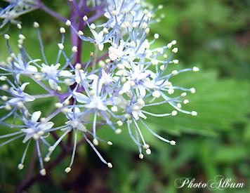コアジサイ(小紫陽花)