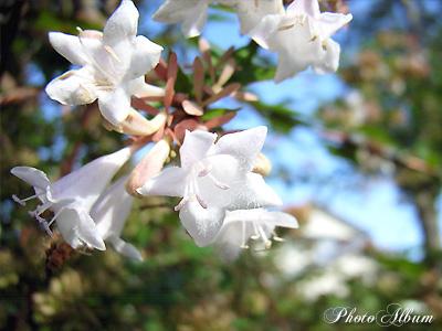 ハナツクバネウツギ(花衝羽根空木) ・ アベリア