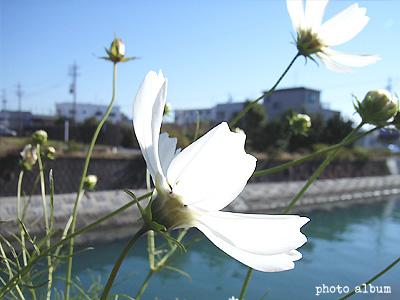 コスモス(秋桜)