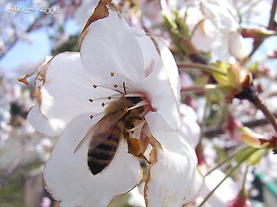 サクラ(桜)