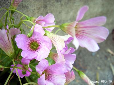 ムラサキカタバミ(紫酢漿草)
