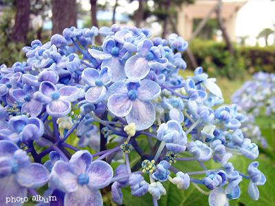 ウズアジサイ(渦紫陽花):青