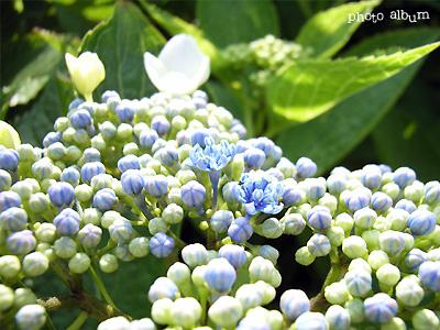 アジサイ(紫陽花):ガクアジサイ (額紫陽花)