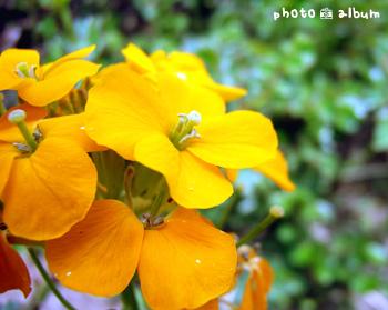 ウォールフラワー ・ ニオイアラセイトウ(匂い紫羅欄花)