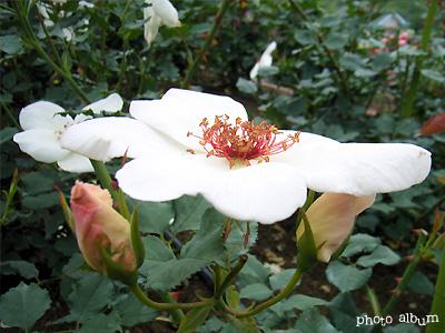 バラ(薔薇):ホワイト ウイングス