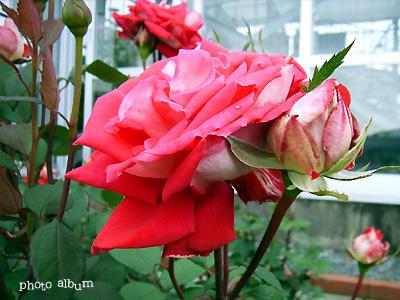 バラ(薔薇):ラブ