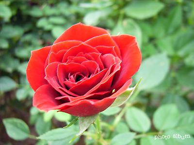 バラ(薔薇):レッド メイアンディナ