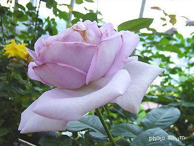 バラ(薔薇):ケルネル カルネバル
