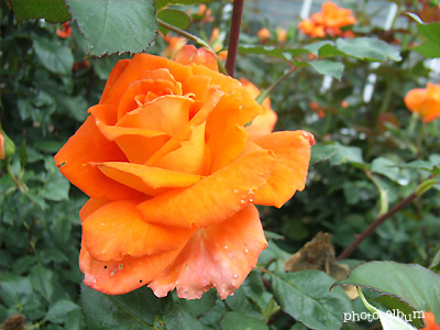 バラ(薔薇):モニカ