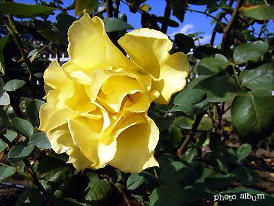 バラ(薔薇):インカ
