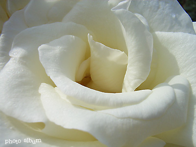 バラ(薔薇):マダム サチ