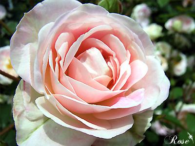 バラ(薔薇):春の舞