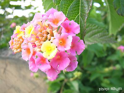 きょうの誕生花(10月27日):ランタナ