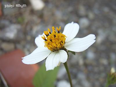 オオバナセンダングサ(大花栴檀草)