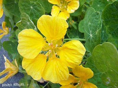 ナスタチウム ・ キンレンカ(金蓮花)