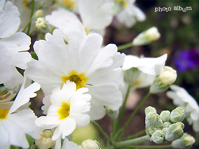 きょうの誕生花(2月13日):セイヨウサクラソウ(西洋桜草)