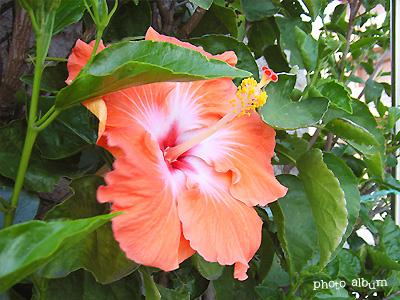 きょうの誕生花(7月11日):ハイビスカス