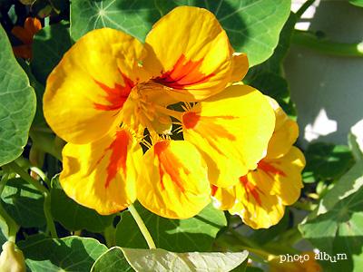 ナスタチウム・キンレンカ(金蓮花)