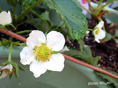 きょうの誕生花(4月13日):イチゴ(苺)