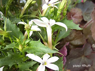 ホシアザミ(星薊)