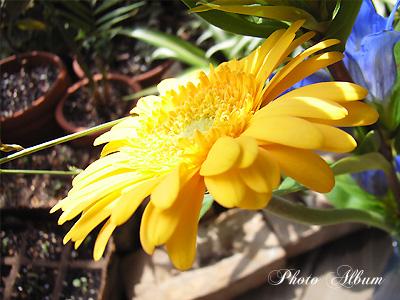 きょうの誕生花(10月12日):ガーベラ
