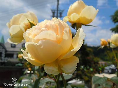 バラ(薔薇):ジュード ジ オブスキュア
