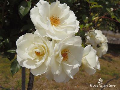 バラ(薔薇):アイスバーグ/シュネービッチェン