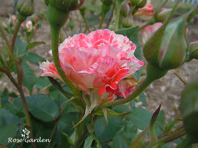 バラ(薔薇):オレンジ スプラッシュ