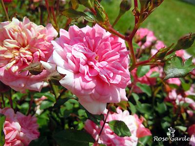 バラ(薔薇):ロズマリン 89