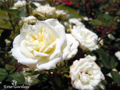 バラ(薔薇) : アルバ メイアンディナ
