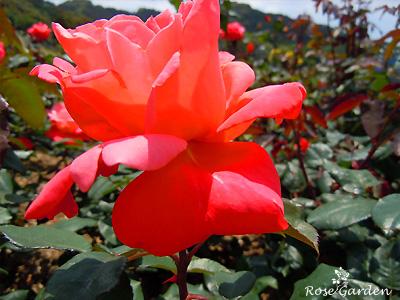 バラ(薔薇):カトリーヌ ドヌーヴ
