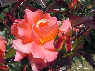 バラ(薔薇):ダニエル ギラン