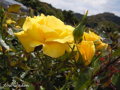 バラ(薔薇):フリージア