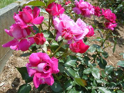 バラ(薔薇):イントゥリーグ