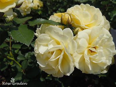 バラ(薔薇):ゴールデン ボーダー