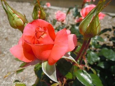 バラ(薔薇):ムービー スター