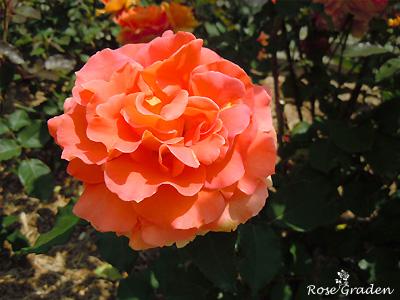 バラ(薔薇):ブラスバンド