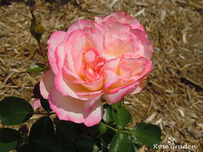 バラ(薔薇):ときめき