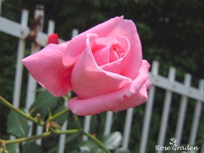 バラ(薔薇):コーラル ドーン