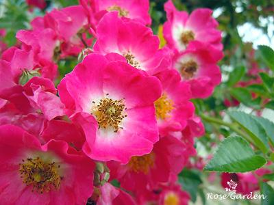 バラ(薔薇):ヒアワサ