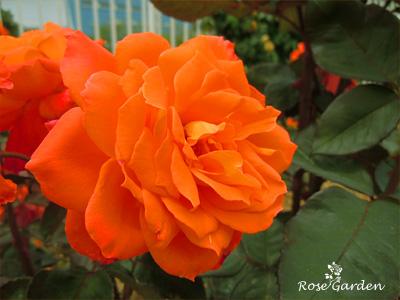 バラ(薔薇):近衛