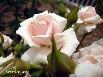 バラ(薔薇):マジョリカ